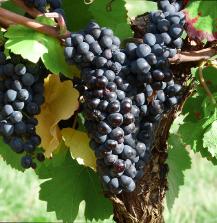Rotwein Traube