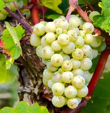 Weißwein Traube